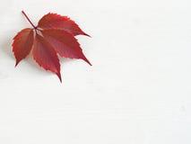 Blad för röd druva på vänstersidaöverkanthörnet av vit träbakgrund Royaltyfria Foton