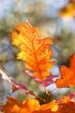 Blad för röd ek för höst Royaltyfria Foton