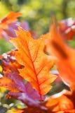 Blad för röd ek för höst Arkivbild