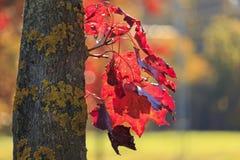 Blad för röd lönn till trädtrun royaltyfria foton