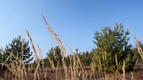 Blad för torrt gräs i skogen stock video