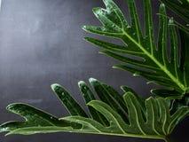 Blad f?r Philodendronxanaduv?xt det tropiskt royaltyfri foto
