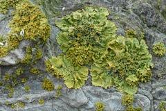 Blad Foliose Korstmossen die op Oude Steen groeien stock foto's