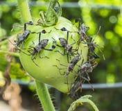 Blad-footed fel som matar på tomaten i trädgården Arkivbild