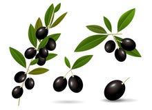 Blad groene takjes met gezonde rijpe zwarte olijven Stock Afbeeldingen