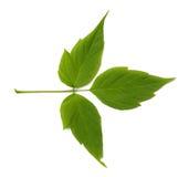 Blad het groene van de esdoornas (acer negundo) Stock Foto