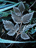Blad i rimfrost royaltyfri foto