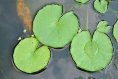 blad lotusblomma Arkivbilder
