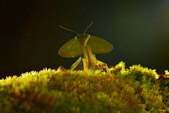 Blad Mantid, Choeradodis-rhombicollis, insect van Costa Rica Mooie avond backlight met wild dier Royalty-vrije Stock Afbeelding