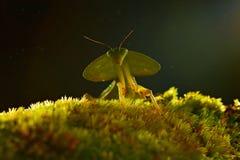 Blad Mantid, Choeradodis rhombicollis, kryp från Costa Rica Härligt aftonpanelljus med det lösa djuret Royaltyfri Bild