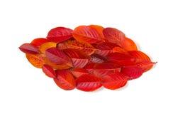 Blad met de herfstbladeren wordt op witte achtergrond worden geïsoleerd gemaakt die Stock Afbeeldingen