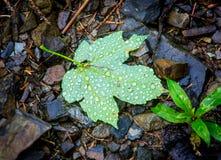 Blad met Waterdrops Stock Foto