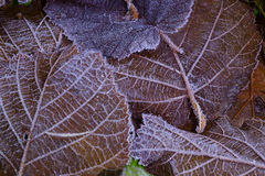 blad och frost Arkivfoto