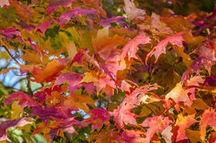 Blad, rode esdoornboom Stock Foto's
