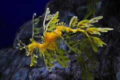 Blad seadragon Royalty-vrije Stock Foto's