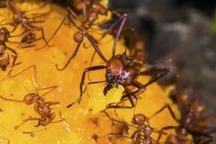 Blad-snijder mieren op een mangofruit Royalty-vrije Stock Foto's