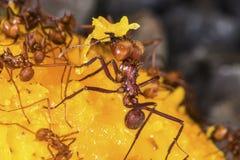Blad-snijder mieren op een mangofruit Royalty-vrije Stock Foto
