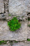 Blad som växer i en stenvägg för begreppstillväxt för bakgrund 3d den isolerade illustrationen framförde white Arkivfoton