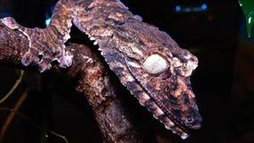 Blad-tailed gecko för Henkel ` s arkivfilmer