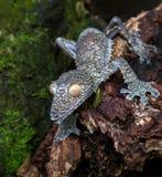 Blad-tailed gecko, Madagascar Royaltyfri Bild