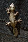 Blad-tailed gecko på svart Royaltyfri Bild