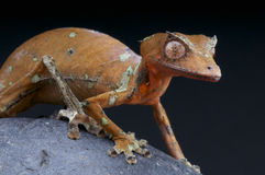 Blad-tailed gecko-/Uroplatus phantasticus Royaltyfri Fotografi