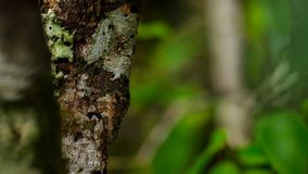 Blad-tailed gecko, Uroplatus sikorae, art av geckon med kapaciteten att ändra dess hudfärg för att matcha dess omgivning royaltyfri bild