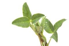 Blad tre tre-täckte grön ung växt av släktet Trifolium med droppar av dagg Royaltyfria Bilder