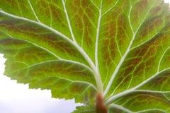 Blad van begonia stock afbeeldingen