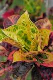 blad van de boom van Rushfoil of Croton- Stock Foto's