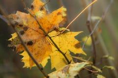 Blad van de close-up het herfst natte esdoorn in bos Royalty-vrije Stock Foto's