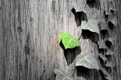 Blad van de lente het groene ivys op de boom Stock Foto