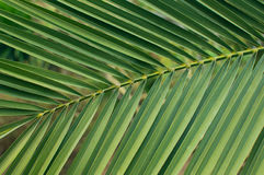 Blad van de palmachtergrond Stock Afbeelding