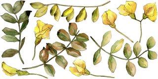 Blad van de waterverf het gele acacia Botanisch de tuin bloemengebladerte van de bladinstallatie Geïsoleerd illustratieelement stock illustratie