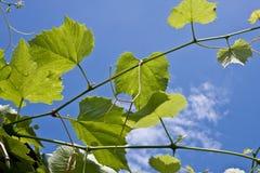 Blad van druiven op een achtergrond van de hemel Stock Foto