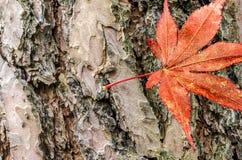 Blad van een Japanse sycomooresdoorn acer SP , opgezet op een schors Royalty-vrije Stock Afbeelding