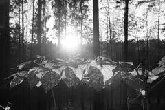 Blad van het blad hoelsPlant bomen van de kunst doorbladert het zwarte witte lichte installatie met pointy groene bruin van Stach royalty-vrije stock foto's
