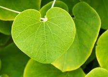Blad van klimplantinstallatie Royalty-vrije Stock Foto