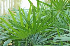 Blad van Palm (Livistona Rotundifolia) Royalty-vrije Stock Afbeeldingen