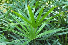 Blad van Palm (Livistona Rotundifolia) Stock Afbeeldingen