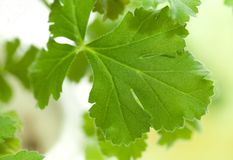 Blad van pelargonia. close-up Stock Afbeelding