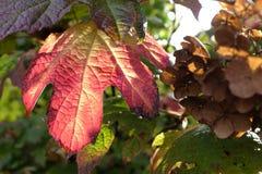 Blad van Quercus Hydrangea hortensia Royalty-vrije Stock Foto's