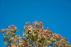 Blad van rubberboom op blauwe hemel in Thailand Stock Foto's