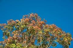 Blad van rubberboom op blauwe hemel in Thailand Stock Afbeelding
