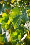 Blad van wijnstok. Stock Afbeelding