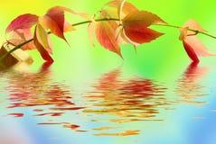 Blad van wilde druif op kleurenachtergrond Stock Afbeeldingen