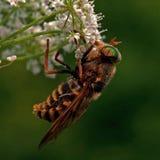 Blada gigantyczna komarnica, Tabanus bovinus Zdjęcia Stock