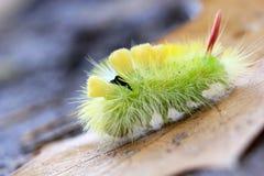 Blada Tussock gąsienica - yelow kosmaty Zdjęcie Royalty Free