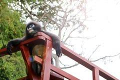 Bladapa, Duskey Langur på terrassen Royaltyfria Bilder