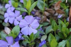Bladblomma för lilor fem Arkivfoto